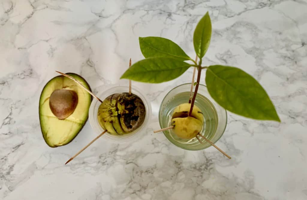 Jak zasadzić awokado z pestki?