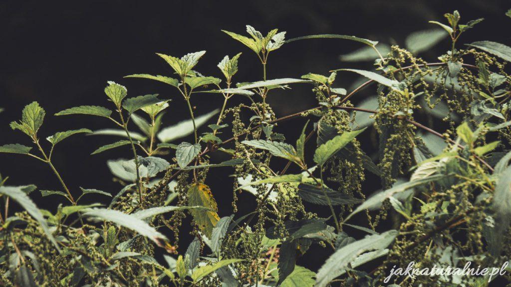 Gnojówka z pokrzyw, prosty przepis